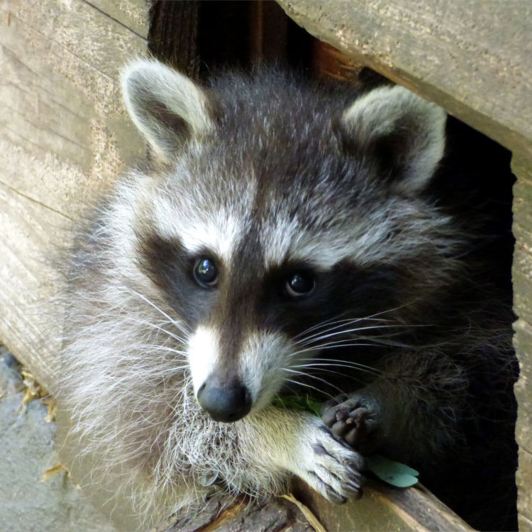 Raccoons will use any available entrance!