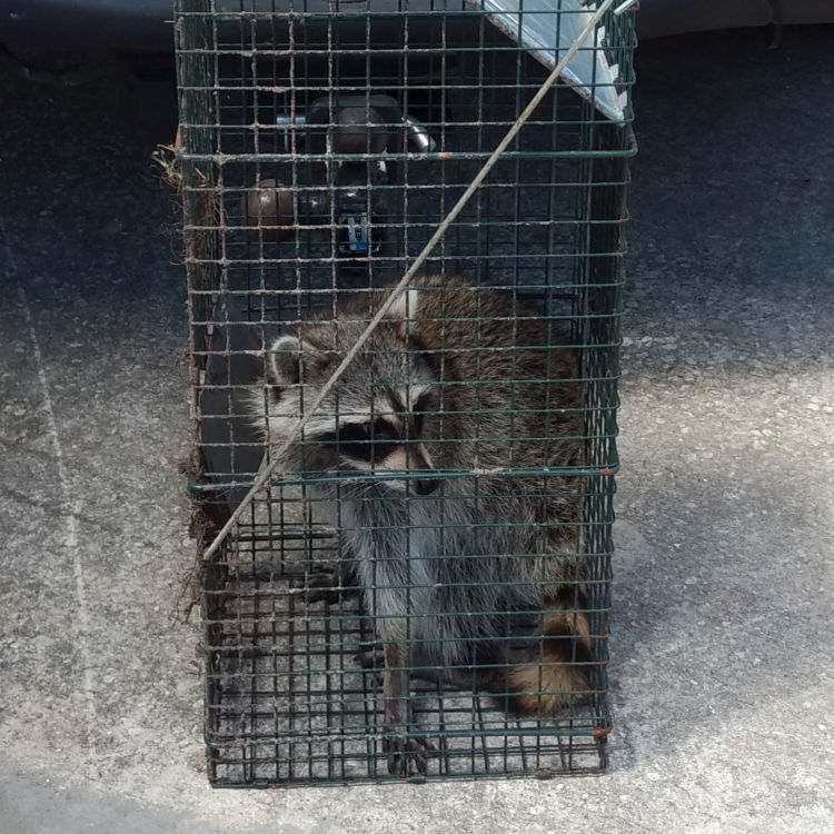 Raccoon trapped in a live trap